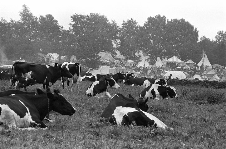 Woodstock Cows Fine Art Print