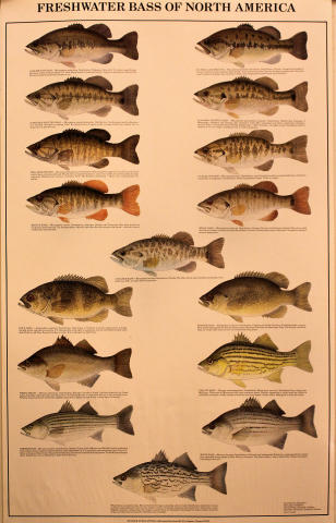 Freshwater Bass of North America Poster
