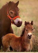 Exmoor Pony and Foal Poster