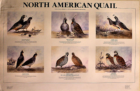 North American Quail Poster