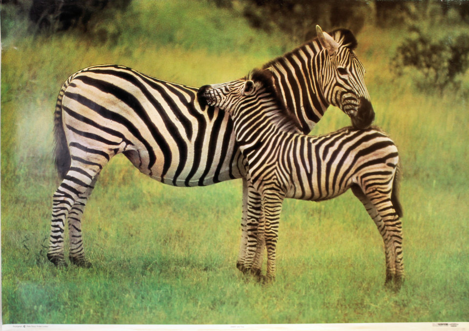 Zebra And Foal Poster